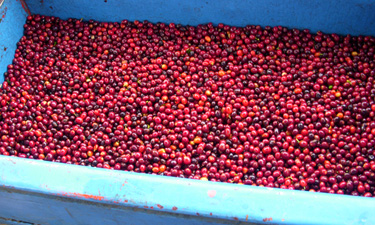 coffee cherry arriving