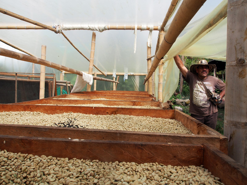 Julio Sanchez drying coffee